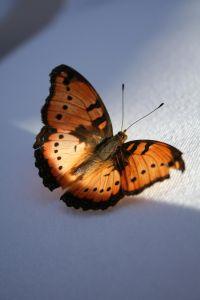 butterfly_of_love_2