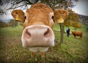 cow-publicenergy