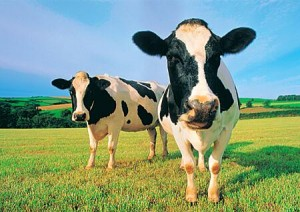 """If """"The China Study"""" findings are implemented, these cows might be out of a job"""