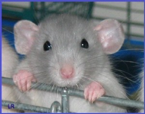 This rat will never have to exercise as much again