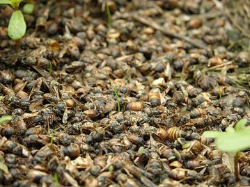 Colony collapse disorder - an entire colony is wiped out