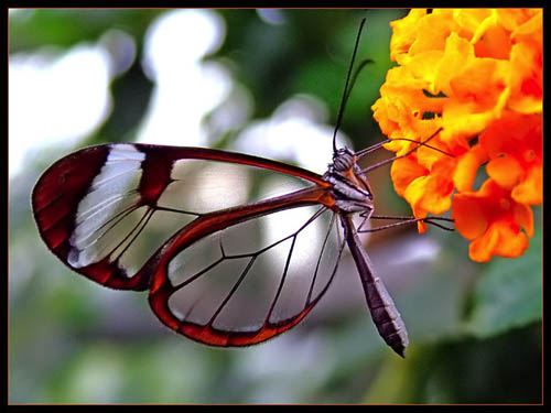 transparent-butterfly2-sm