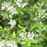 Using Herbs as Medicine